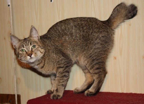ПИКСИ-БОБ (pixie-bob) – загадочная кошка из американских легенд.