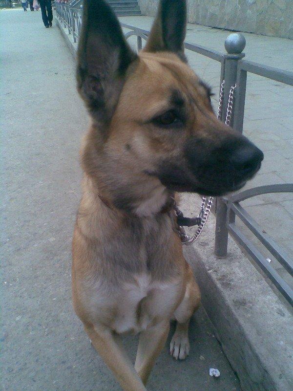 Помогите пожалуйста определить породу!!!!!!Собачке почти 2 года!