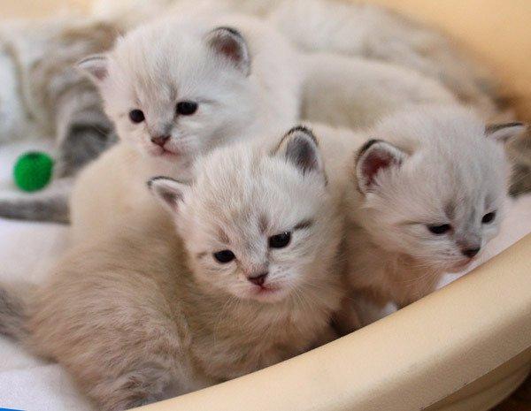 НЕВСКИЕ МАСКАРАДНЫЕ голубоглазые очаровательные котята из питомника Жемчуг Невы. Котик сиамского окраса с белым и кошечки сил-тебби-поинт, возраст 2 мес. Также идет запись на котят окраса сил-тебби-поинт и блю-тебби-поинт родившихся 28 декабря. Котята с родословной, от красивых титулованных родителей, выращены с любовью и заботой. У них прекрасный ласковый характер, любят сидеть на руках и мурлыкать. В результате многолетней селекции взрослые коты не метят! Котенка можно выбрать по фото на сайте: http://kiskaneva.narod.ru  Тел.(499) 746-22-60, 8-926-388-77-45 Екатерина