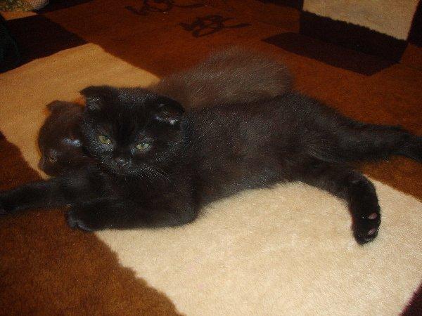 Очаровательный шотландский котик (дата рождения 17.11.2009г.) ждёт добрых хозяев))))