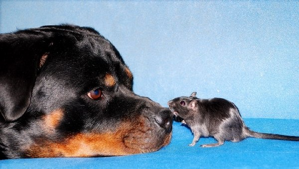 Мышинный поцелуй