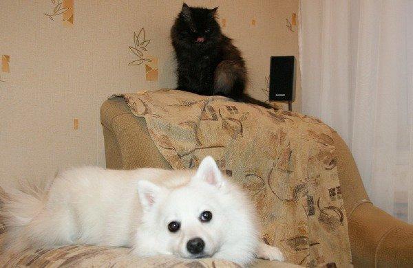 Рассказ второй. Как Кошка с Собакой. Непридуманные истории про шпица.