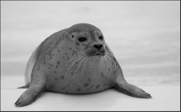 Морской котик Автор фото видимо Rene Lauterbach  Унесено [url=http://community.livejournal.com/fauna_ru/312923.html]отсюда[/url]