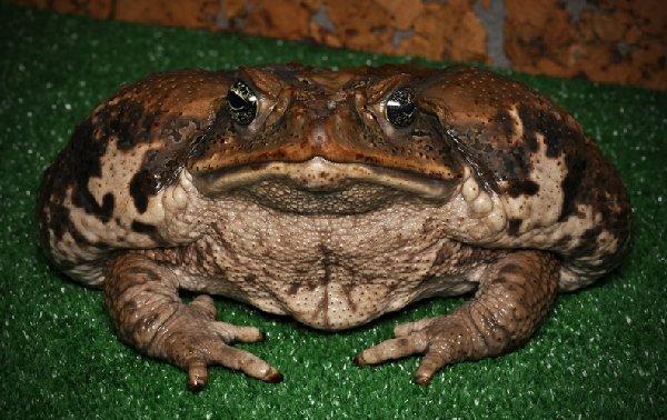Соловей и жаба