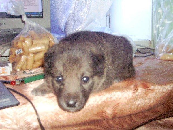 Помогите опредилить породу щенка