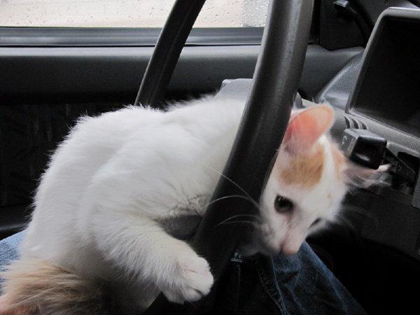 Беляш за рулем:)