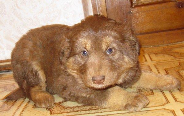 Шоколадка - щенок от Мухи.