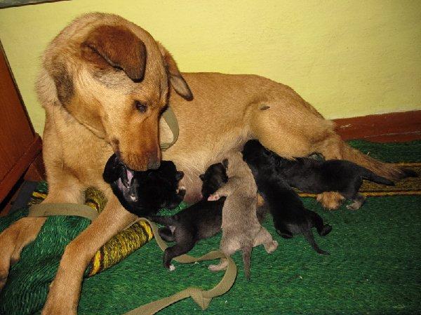 Найда - мама героиня,доброе сердце,  выкормила 10 своих щенов и еще этих чужих слепышей - выброшенных на холод с  ул. Кольцевой