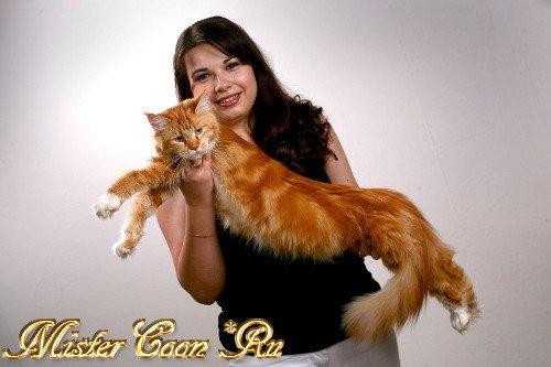 Мейн Кун - кошки великаны
