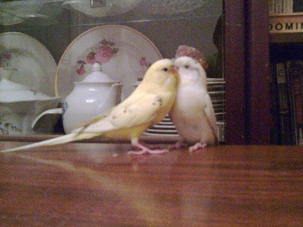 Двое волнистика, оба Кеши