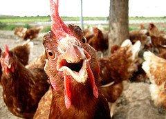 Онищенко запретил Nestle продавать цыпленка и индейку