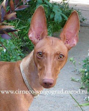 Редкая порода собак. Чирнеко дель этна.
