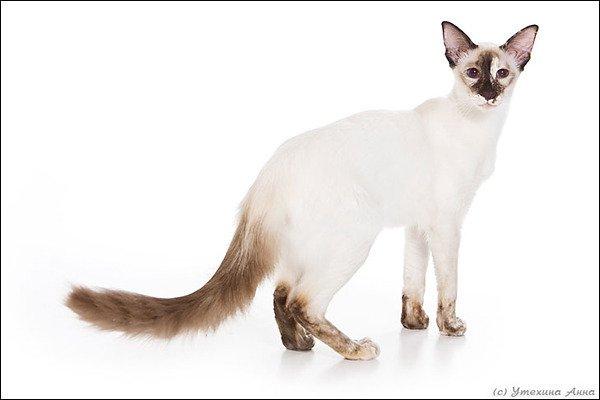 Балинез: редкая порода кошек для ценителей прекрасного