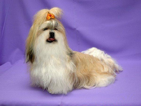 Ши-тцу-собачка, приносящая в дом счастье!