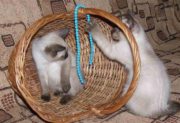 """очаровательные котята меконгского бобтейла из питомника \\\""""Людмила Бест\\\"""""""