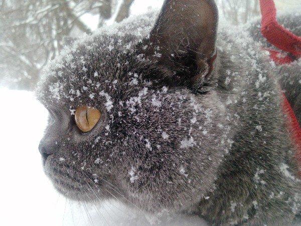 Мой котик - бриташка Грега