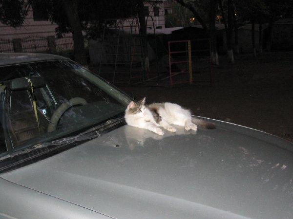 кошка на капоте.