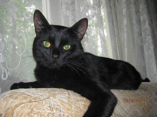 Бомбейские порода коты фото