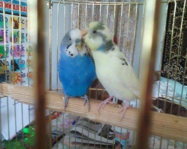 мои попугаи Кеша и Лиза