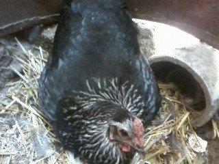Квочка сидит на яйцах
