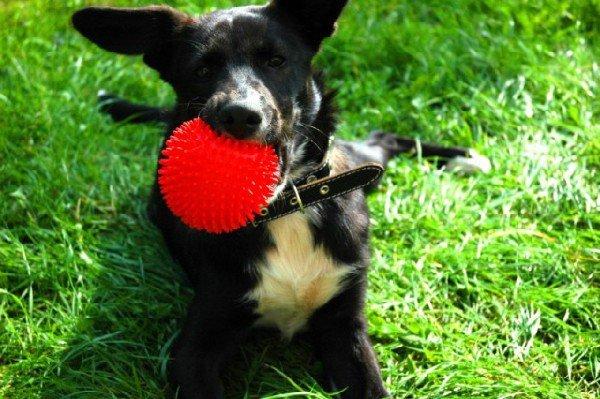 """Черно-белый окрас, очень дружелюбный, кличка как у собаки из мультфильма \\\""""Вольт\\\"""" Walt Disney. Нашла его на даче в Шатуре и оставила себе )) Похож на смесь овчарки с средним дворянином. Очень любит пищащий красный мячик )) Может играть с ним часами... :)"""