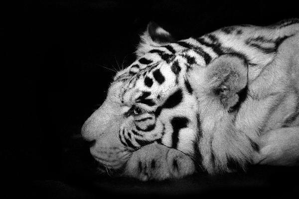 Белый тигр...