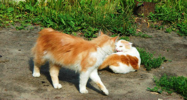 Столкновение котов