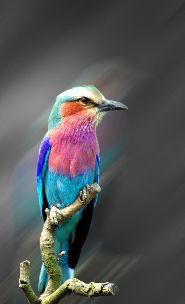 радужная птаха