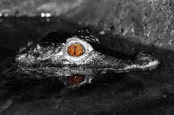 crocodile caiman