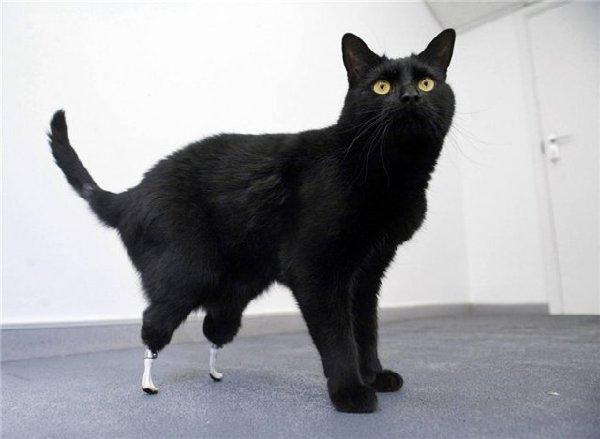 Оскар - единственный в мире кот на бионических протезах.