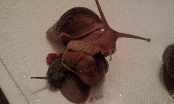 ���:Achatina immaculata var. pantera,Helix pomatia ���:��������,��������� ����������:������� ����� ������ �� �������.