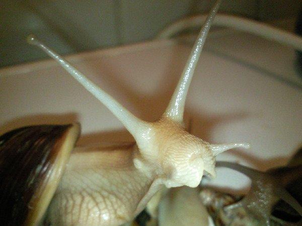 Вид:Achatina immaculata var. pantera,неизвестно чьи головы. Имя:Зубастик,неизвестны.