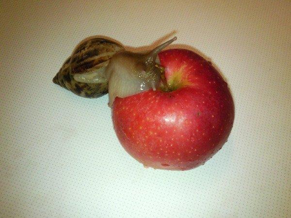 Вид:Achatina reticulata Имя:Зита или Гита