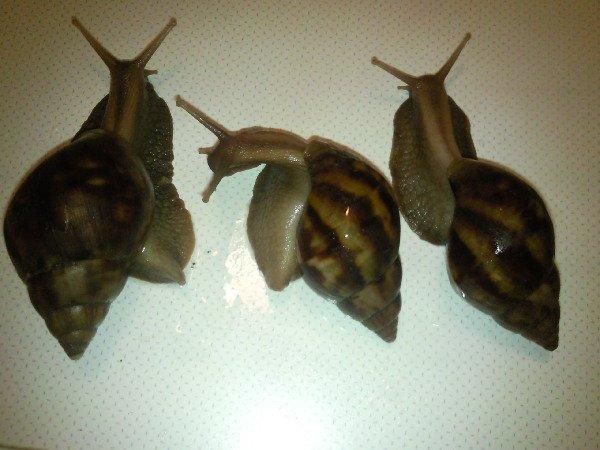 ���:Achatina fulica