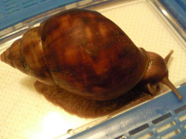 Вид:Achatina fulica