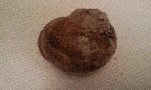 Вид:Helix pomatia