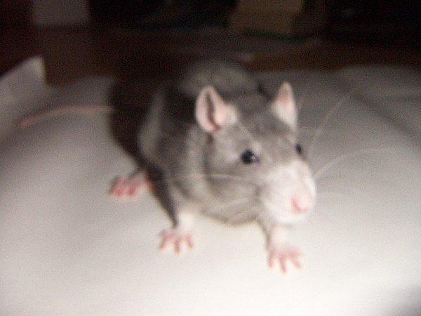 как мыть клетку и саму крысу