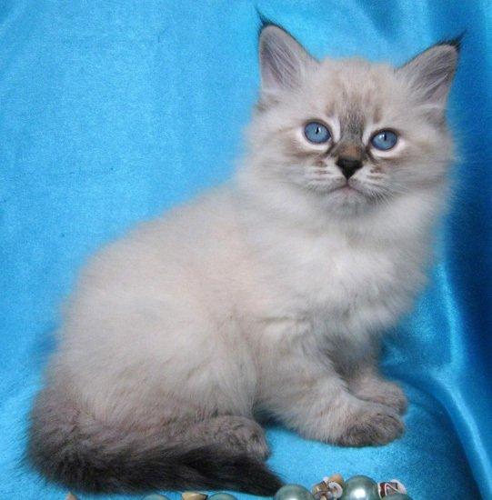 Питомник Жемчуг Невы предлагает невских маскарадных котят