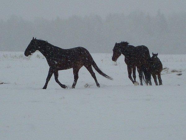 Впереди конь Дерзкий,за ним кобыла Даля с жеребенком Герой