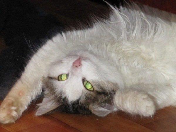 кошка Даша ищет дом