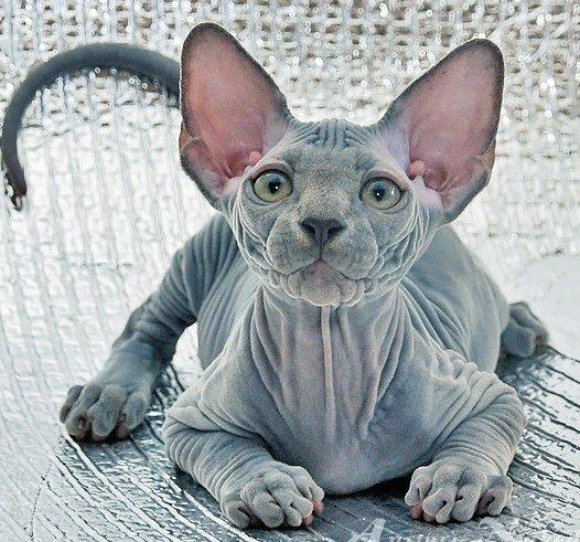Канадский сфинкс - кошка с другой планеты?