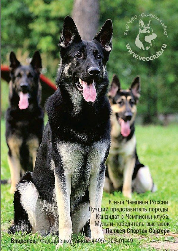 Тренинг. Физическое развитие щенка восточноевропейской овчарки.