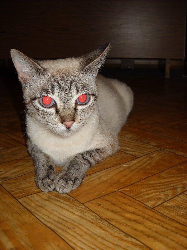 кошка Пика) порода, кажется, сиамская-табби