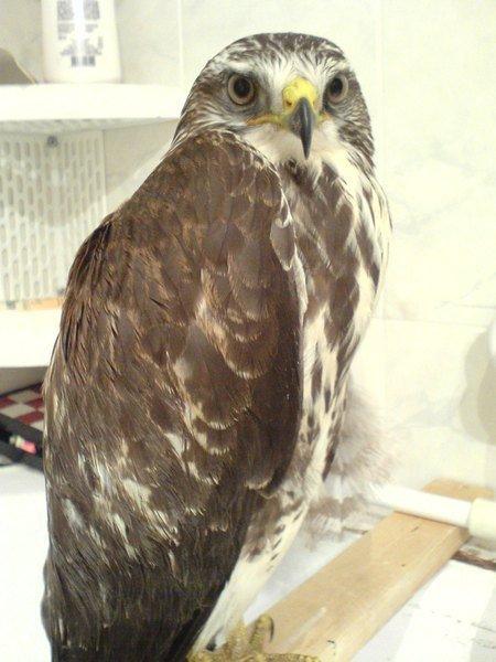 Вот эт Семён Петровия(канюк), знатная и воспитаная птица.