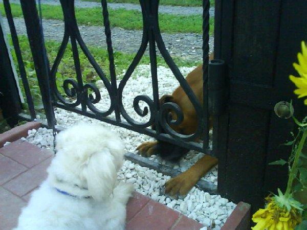 Чарлик и его возлюблена. ну и что того, что Чарлик пекенес, а его возлюбленная боксёр, зато у них любовь и полное понимание:):):)