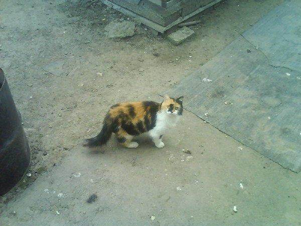 Клёпа,трёх-цветная кошка счастья.Любит хозяев,особенно деда,но пуглива к другим людям,еле успела сфотать.