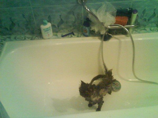 моя любимая карликовая кошка Чертёнок из табакерки(Мона-Лиза)