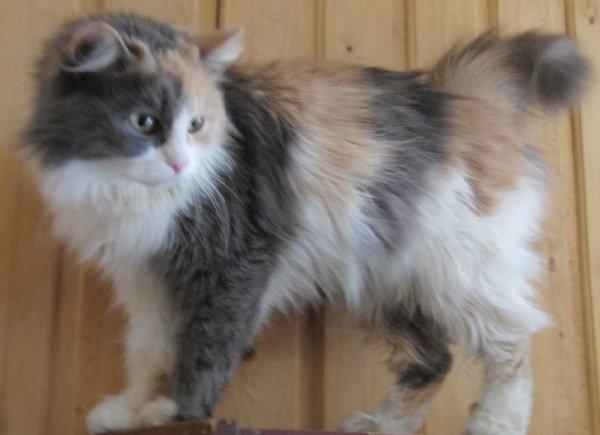 кошка Милашка с приюта нашла себе дом и хозяйку на выставке кошек.