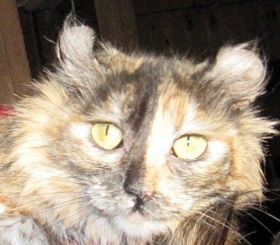кошка Диля с приюта - еще не пристроена...