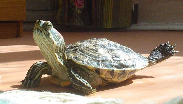 Черепаха по имени Черепаха, август 2004 г.
